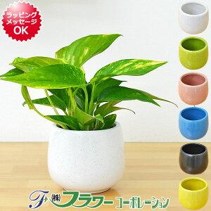 【送料無料】ミニ観葉植物 ポトス陶器鉢付き(ハイドロカルチャー)