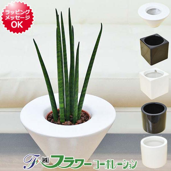 【送料無料】ミニ観葉植物 サンスベリア・バキュラリス ハイドロカルチャースタイリッシュ陶器鉢付き
