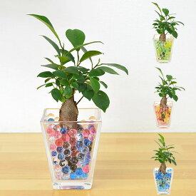 【送料無料】ミニ観葉植物 ガジュマル(多幸の木) スクエアガラスゼリー植え