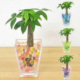 【送料無料】ミニ観葉植物 パキラ スクエアガラスゼリー植え
