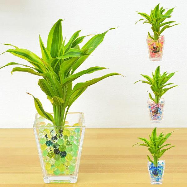 【送料無料】ミニ観葉植物 ドラセナ・サンデリアーナ スクエアガラスゼリー植え