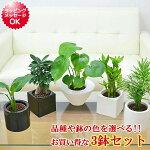 ミニ観葉植物ハイドロカルチャースタイリッシュ陶器鉢付き3鉢セット