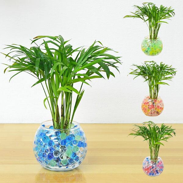 【送料無料】ミニ観葉植物 テーブルヤシ スフィアガラス ゼリー植え