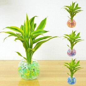 【送料無料】ミニ観葉植物 ドラセナ・サンデリアーナ スフィアガラス ゼリー植え