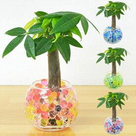 【送料無料】ミニ観葉植物 パキラ スフィアガラス ゼリー植え