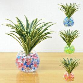 【送料無料】ミニ観葉植物 ドラセナ・コンパクタ(斑入り) スフィアガラスゼリー植え