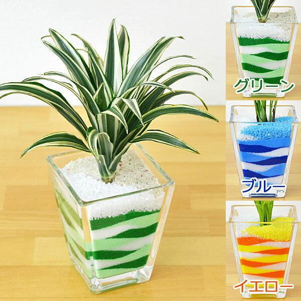 ミニ観葉植物 ドラセナ・コンパクタ(斑入り) カラーサンド植え スクエアガラス