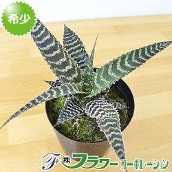 観葉植物オルソフィツム・グルケニー