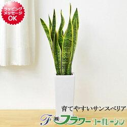 観葉植物サンスベリア陶器鉢植え