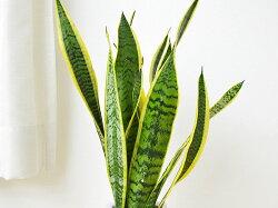 観葉植物サンスベリア陶器鉢植え葉の拡大