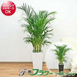 観葉植物アレカヤシロングスクエア陶器鉢植え8号サイズ