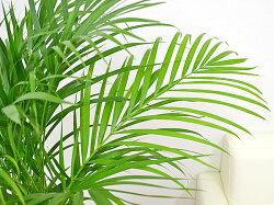 観葉植物アレカヤシロングスクエア陶器鉢植え8号サイズ葉の拡大