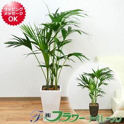 観葉植物ケンチャヤシスクエア陶器鉢植え8号サイズ
