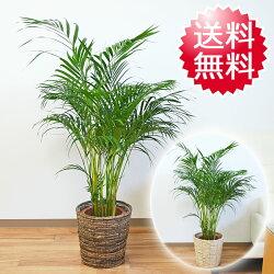 観葉植物アレカヤシ8号鉢カバー付き