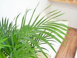 観葉植物アレカヤシ8号鉢カバー付き葉の拡大
