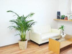 観葉植物アレカヤシ8号鉢カバー付きホワイト鉢カバーのイメージ