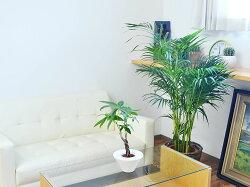 観葉植物アレカヤシ8号鉢カバー付きイメージ