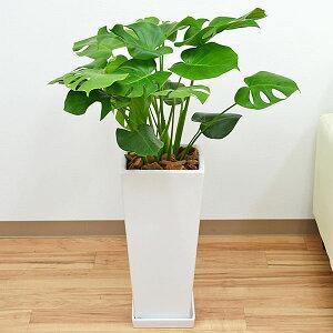 観葉植物 モンステラ 大型 8号サイズ ロングスクエア陶器鉢植え ホワイト ブラック おしゃれ ギフト 送料無料