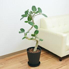 観葉植物 ベンガルゴム フィカス ベンガレンシス 大型 らせん曲がり仕立て カーブ 立体 おしゃれ お祝い 8号ブラックセラート鉢植え 送料無料