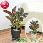 観葉植物フィカス・ベリーズデザインプラスチック鉢