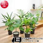 観葉植物選べる品種7号サイズブラックセラート鉢