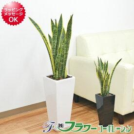 観葉植物 サンスベリア サンセベリア ローレンティ 7号陶器鉢植え 80cm ロングスクエア 大型 おしゃれ お祝い 送料無料 お買い得