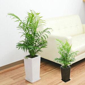 観葉植物 テーブルヤシ(チャメドレア) 6号 陶器鉢植え ホワイト ブラック おしゃれ お祝い 送料無料