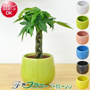 【送料無料】ミニ観葉植物 編み込みパキラ陶器鉢付き(ハイドロカルチャー)