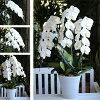 蝴蝶蘭花花生日 (三站) 陶碗本莖花園大花蘭花關於 36 輪花園 DIY 安排 (慶典、 禮品、 同情) 組盆花花蘭花或蝴蝶蘭白色