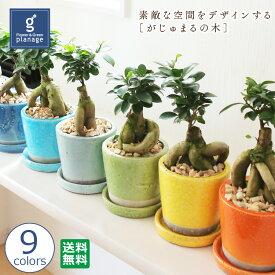 がじゅまるの木 Banyan Tree 送料無料 誕生日 お祝い 記念日 送別会 観葉植物 グリーン バースデー プレゼント 多幸の樹 幸せの木 キジムナー