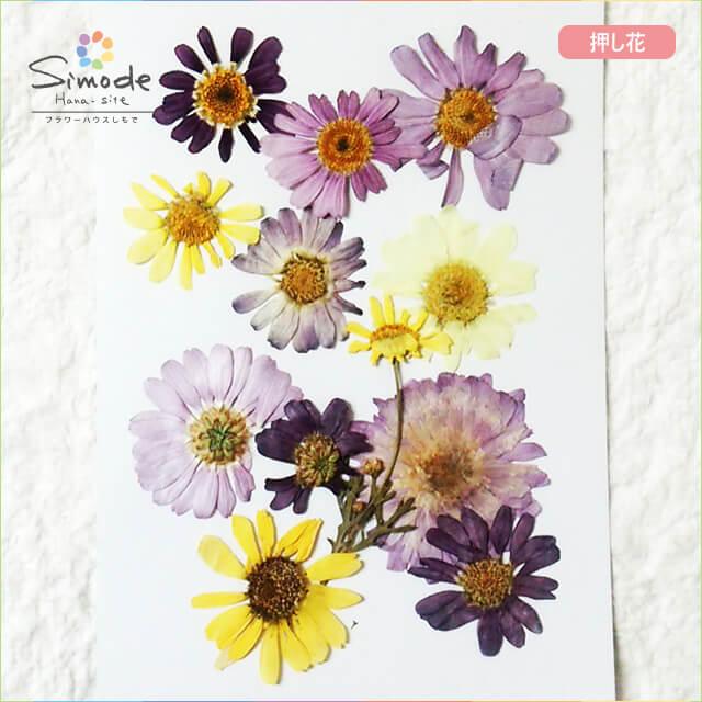 【S-644】押し花 マーガレットミックス10枚さまざまなカラーやサイズがいろいろ詰まってます。ハーバリウム、レジン、キャンドルなどのハンドメイド・DIY素材に。飛騨のお花屋さんが手作りしました。安心安全の国産素材です。
