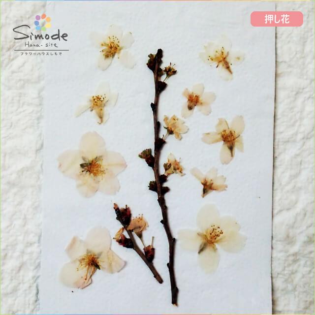 【S-649】押し花 桜(さくら・サクラ)花8枚・枝付きレジン、キャンドル、フォトフレームなどのハンドメイド・DIY素材に。飛騨のお花屋さんが手作りしました。安心安全の国産素材です。