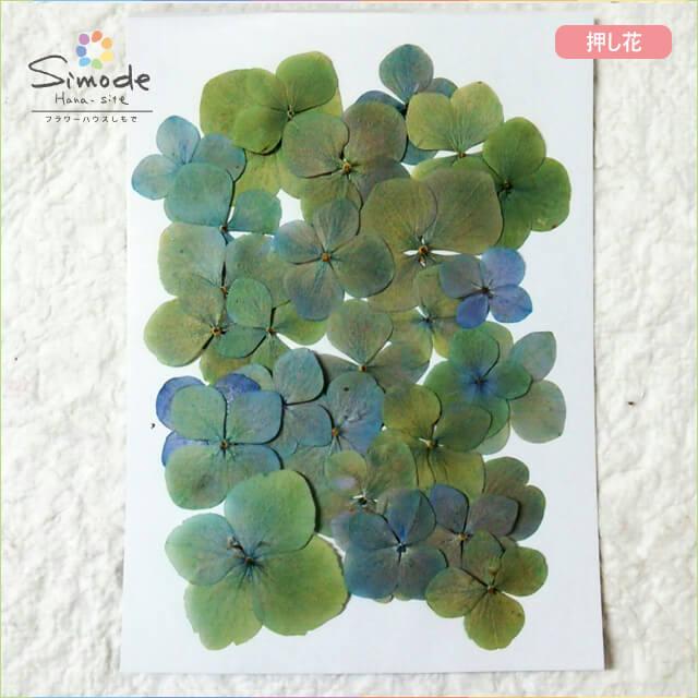 【S-339】押し花 アジサイ(あじさい・紫陽花)青緑ミックス30枚押し花額やレジンアクセサリー制作などハンドメイド素材として人気です飛騨で手作りしています。国産品の安心品質です!