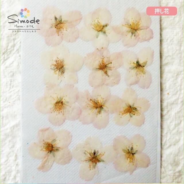 【S-688】押し花 桜(さくら・サクラ)大12枚レジン、キャンドル、フォトフレームなどのハンドメイド・DIY素材に。飛騨のお花屋さんが手作りしました。安心安全の国産素材です。