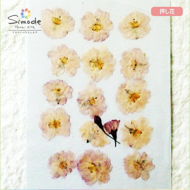 【S-689】押し花 桜(さくら・サクラ)八重咲き15枚レジン、キャンドル、フォトフレームなどのハンドメイド・DIY素材に。飛騨のお花屋さんが手作りしました。安心安全の国産素材です。
