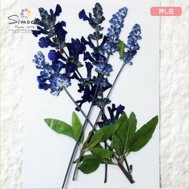 【S-694】押し花 花材サルビア5本飛騨のお花屋さんが手作りしました。安全安心の国産品質です。