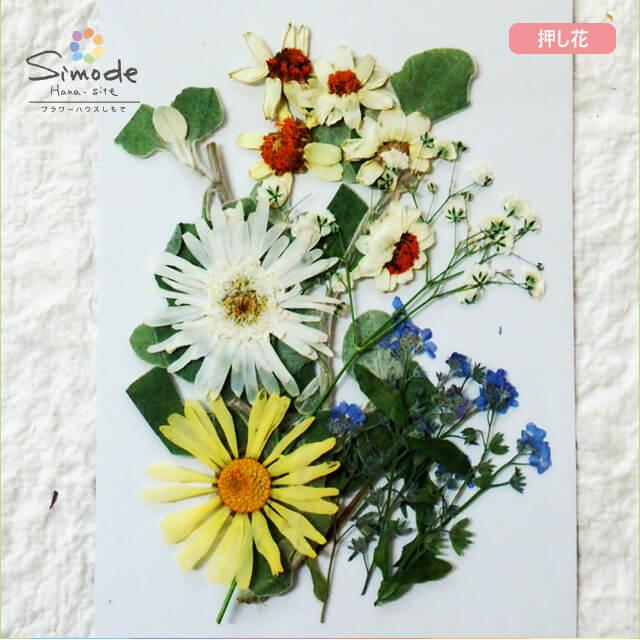 【S-711】押し花 花材 いろいろセットジニア5枚、マーガレット2枚、カスミソウ1本、忘れな草3本飛騨のお花屋さんが手作りしています。安全安心の国産品質です