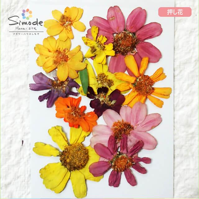 【S-712】ジニアカラフルミックス10枚押し花額やレジンアクセサリー制作などハンドメイド素材として人気です押し花素材・押し花パック飛騨で手作りしています。国産品の安心品質です!