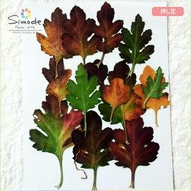 【S-715】押し花 キクの葉(菊・きく)12枚押し花額やレジンアクセサリー制作などハンドメイド素材として人気です飛騨で手作りしています。国産品の安心品質です!