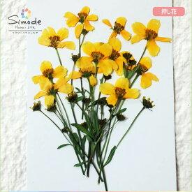 【S-717】押し花 花材 ユリオプスデージー茎つき10枚ハーバリウム、レジン、キャンドルなどのハンドメイド・DIY素材に。飛騨のお花屋さんが手作りしました。安心安全の国産素材です。
