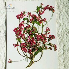 【S-316】そばの花(ピンク)10本押し花額やレジンアクセサリー制作などハンドメイド素材として人気です押し花素材・押し花パック飛騨で手作りしています。国産品の安心品質です!