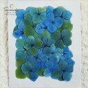 【S-339】押し花 アジサイ(あじさい・紫陽花)青緑ミックス30枚押し花額やレジンアクセサリー制作などハンドメイド…
