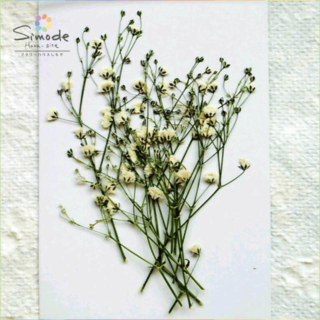 【S-423】押し花 カスミソウ(白)10本押し花額やレジンアクセサリー制作などハンドメイド素材として人気です飛騨で手作りしています。国産品の安心品質です!