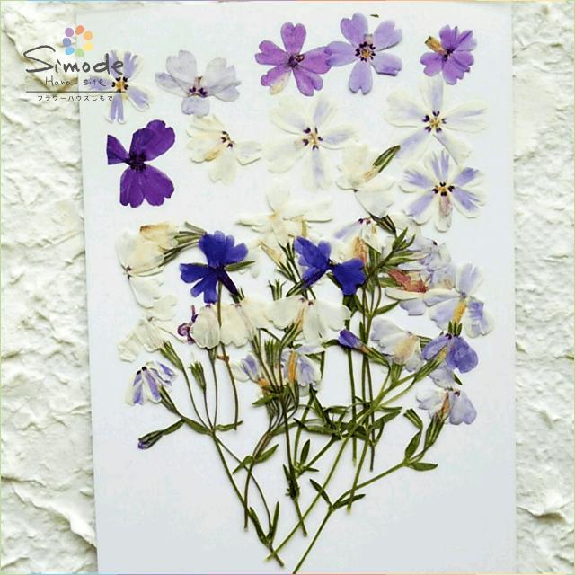 【S-434】押し花 シバザクラ(芝桜)花10枚茎つき5本押し花額やレジンアクセサリー制作などハンドメイド素材として人気です飛騨で手作りしています。国産品の安心品質です!