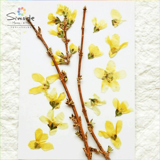【S-473】トサミズキ(土佐水木)枝付き枝2本、花10枚押し花額やレジンアクセサリー制作などハンドメイド素材として人気です押し花素材・押し花パック飛騨で手作りしています。国産品の安心品質です!