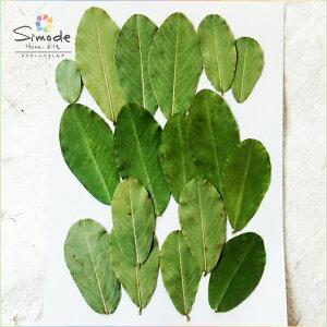 【S-566】押し花 落花生の葉18枚押し花額やレジンアクセサリー制作などハンドメイド素材として人気です飛騨で手作りしています。国産品の安心品質です!