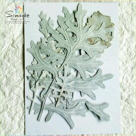 【S-578】押し花 シロタエギク大サイズ5本押し花額やレジンアクセサリー制作などハンドメイド素材として人気です飛騨で手作りしています。国産品の安心品質です!