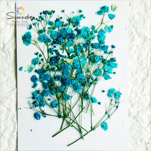 【S-585】押し花 着色カスミソウ(かすみ草)ブルー15本押し花額やレジンアクセサリー制作などハンドメイド素材として人気です飛騨で手作りしています。国産品の安心品質です!