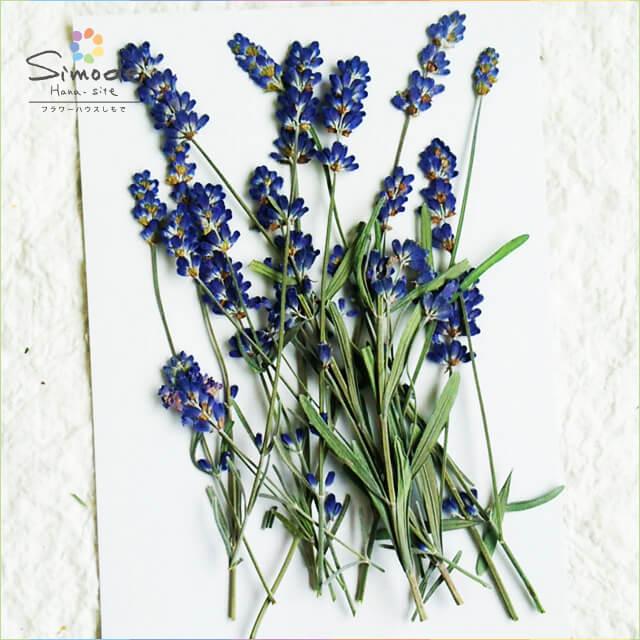【S-606】ラベンダー(小)10本押し花額やレジンアクセサリー制作などハンドメイド素材として人気です押し花素材・押し花パック飛騨で手作りしています。国産品の安心品質です!