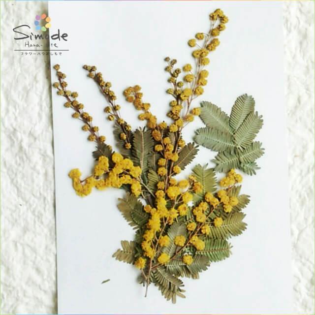 【S-617】押し花 ミモザ5本当店で手作りした押し花素材です。ハーバリウム、レジン、キャンドルなどハンドメイド・DIY作品の素材にぜひご利用ください。